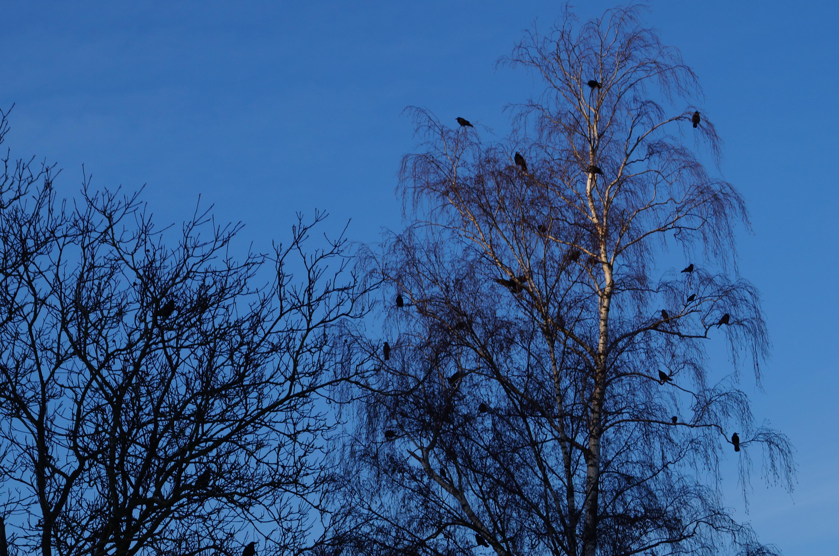 krähen in der birke