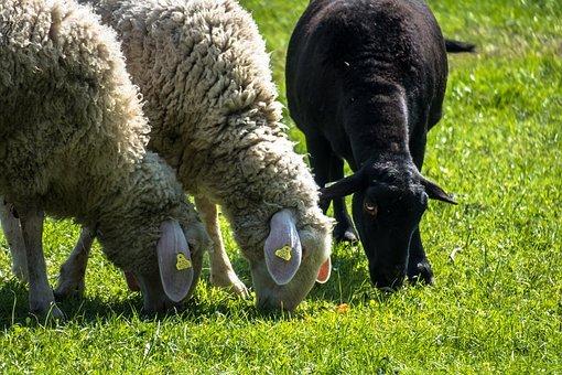 Schwarze Schafe…